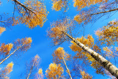 Tree canopy of birch trees Stock Image