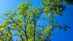 Tree canopy and blue sky. In sunny day royalty free stock photo