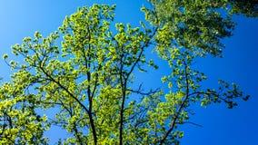 Tree canopy and blue sky Royalty Free Stock Photo