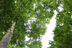 Tree canopy. Bottom view of a tree canopy, looking up from the trunk Royalty Free Stock Images