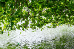 Tree canopy and lake Stock Images