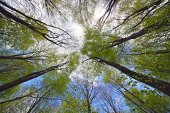 Tree canopy. Looking high into the tree canopy of a beech forest during springtime on a bright sunny day with blue sky and white fluffy clouds royalty free stock photo