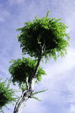 Tree canopy. Tree with a sky background Royalty Free Stock Images