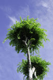 Tree canopy. Tree with a sky background Royalty Free Stock Photo