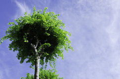 Tree canopy. Tree with a sky background Stock Images
