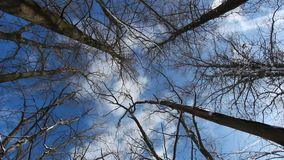 Tree canopy. Snow laden trees in a  winter storm stock video footage