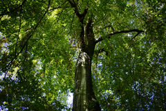 Tree canopy. Tree trunk and canopy with green leaves Stock Image