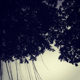 Tree canopy in twilight royalty free stock images