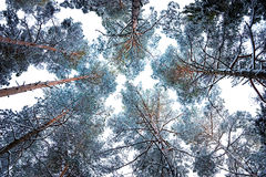 Tree canopy in winter Royalty Free Stock Image