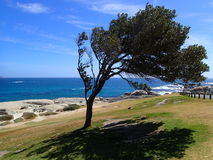 Tree at the Cape Town coast Stock Photography