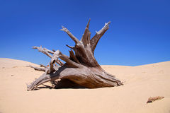 Tree carcase. In the middle of dry sand dunes Stock Image