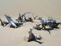 Tree carcases in dry arid environment. At the lake Michigan state park stock photography