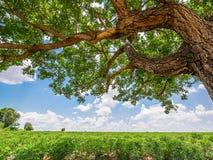 Tree in cassava field Stock Photos