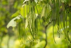 Tree Catalpa Bignonioides. In nature Stock Photos
