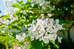 Tree catalpa with blossom Royalty Free Stock Image