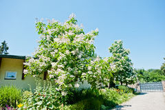 Tree catalpa with blossom Stock Image