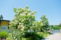Tree catalpa with blossom Stock Image