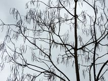 Tree Catalpa with pods. Against the sky royalty free stock photo