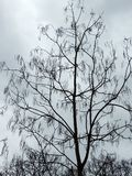 Tree Catalpa with pods. Against the sky royalty free stock photos