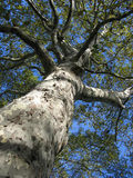 Tree in central park. Central park, New-York, tree with camouflage look-a-like birch Stock Photo