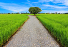 Tree is the central of rice field Royalty Free Stock Photos