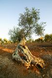 Tree of centuries-old olive tree Stock Images