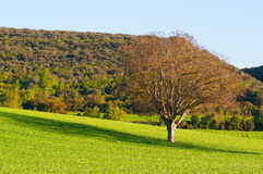 Tree on a cereal field on a sunny day Stock Photo