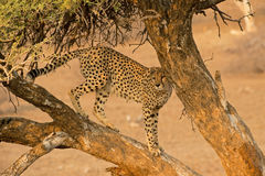 Tree Cheetah Stock Images