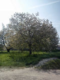 Tree (cherry) / arbre (cerisier) Royalty Free Stock Photos