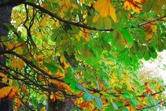 Tree. Chestnut tree in autumn colors Stock Photos