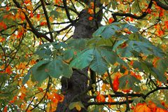 Tree. Chestnut tree in autumn colors Stock Image