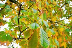 Tree. Chestnut tree in autumn colors Royalty Free Stock Image