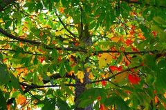 Tree. Chestnut tree in autumn colors Stock Images