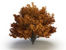 Tree chestnut Stock Photography