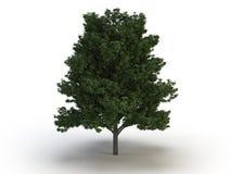 Tree chestnut. On white background Stock Images