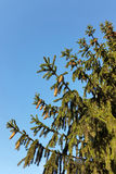 The Tree for Christmas. Fir cones in the tree for Christmas Royalty Free Stock Photography