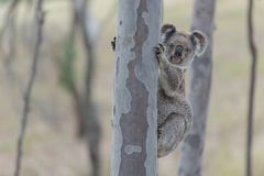 Australian koala. Tree clamber koala curiously waiting for my movement stock photography