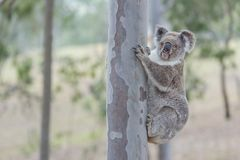 Australian koala. Tree clamber koala curiously waiting for my movement royalty free stock image