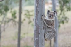 Australian koala. Tree clamber koala curiously waiting for my movement stock image