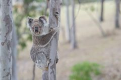 Australian koala. Tree clamber koala curiously waiting for my movement royalty free stock photography