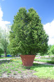 Tree in a clay pot Royalty Free Stock Photography