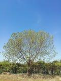 Tree. Clear sky tree stock photography