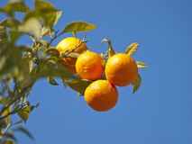 Tree clementine Royalty Free Stock Photo