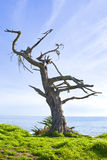 Tree on a cliff. Old interesting tree on a cliff above the beach Royalty Free Stock Photo