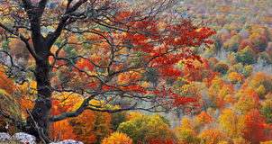 Tree on cliff with autumn colors Stock Photography