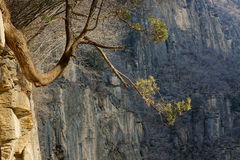 Tree on the cliff Royalty Free Stock Photos