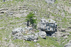 Tree on cliff. Solitary tree on a cliff in the Alps Stock Photos