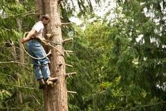 Tree climber and logger. Experienced tree climber in cedar tree Stock Photos