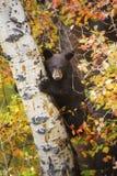 Tree Climber Stock Photo