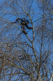 Tree climber. Professionals climbed a tree to cut branches Stock Photography